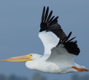 white pelican on Anna Maria island
